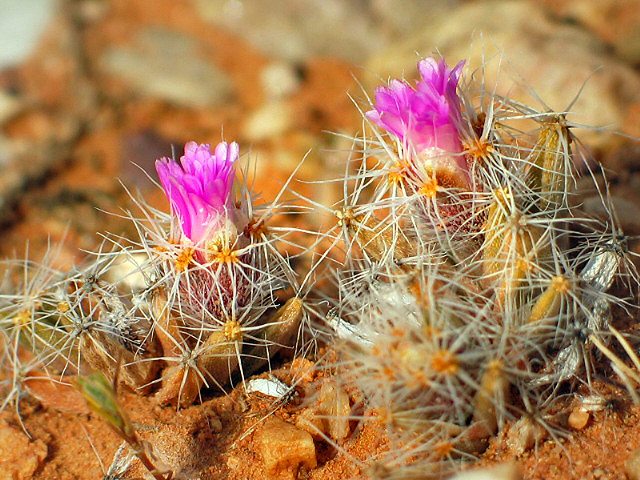 trichodiadema sp in flower - east of de rust, south africa