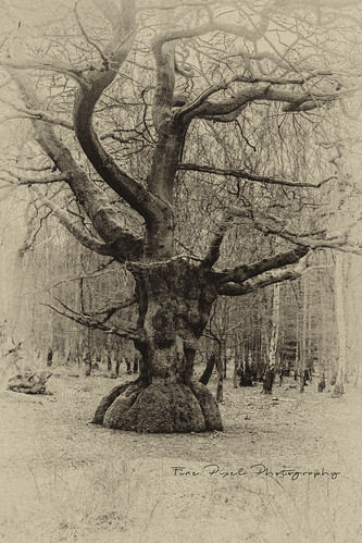Antique Look.  Old Beech Tree, Epping Forest. | by Fine Pixel Photography