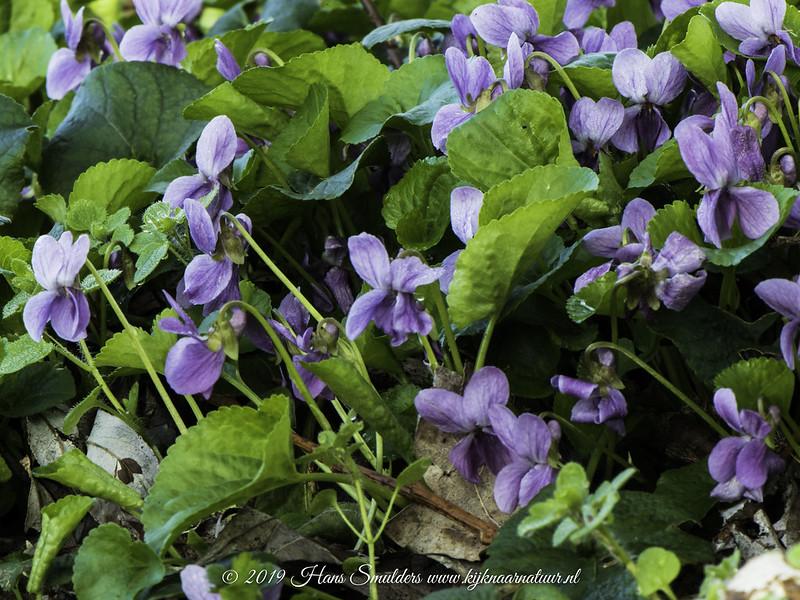Maarts viooltje (Viola odorata)-819_0595