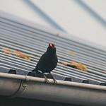 Urban Bird Bokeh - 3. April 2019 - Schleswig-Holstein