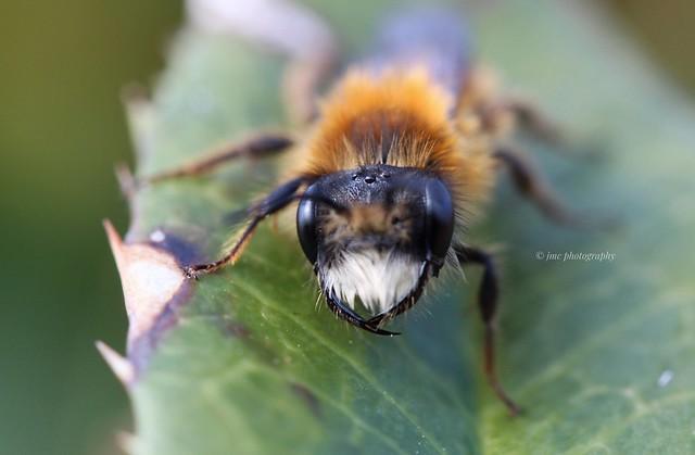 Andrena fulva male, (Tawny Mining Bee)