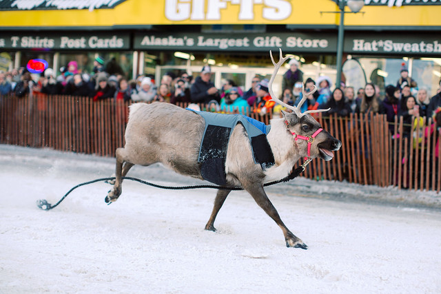 The Running of the Reindeer. Fur Rondy 2019