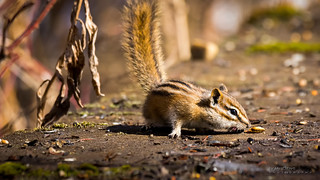 Chipmunk (in Explore) | by idvisions