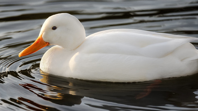 a White Duck in sunset light