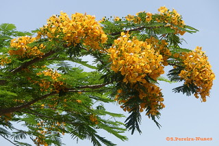 Delonix Regia Orange Color, Cuba