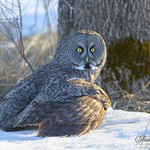 The hunting Great Gray Owl