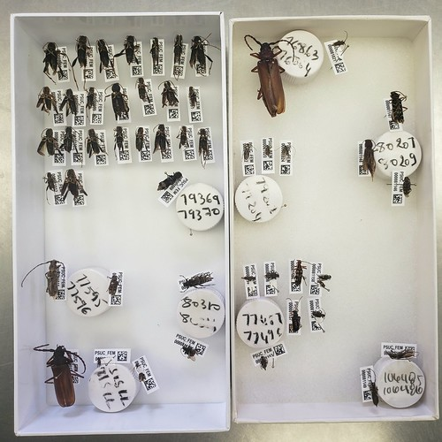 pinned longhorn beetles in foam-bottomed trays