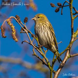 Siskin ( female ) at Nene Park / Ferry Meadows 17/01/19.