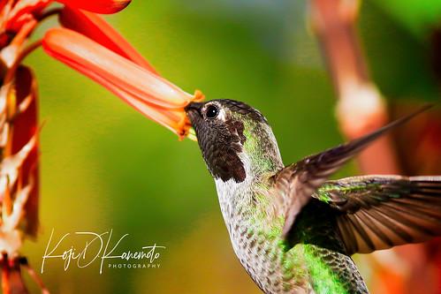 Anna's Humminbird Close-up   by Mustang Koji