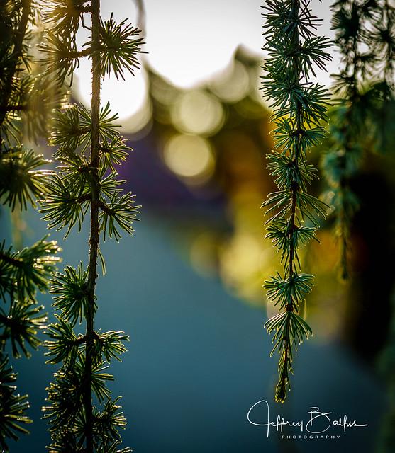 Korean Pine at Sunset-31152