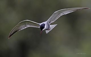 Whiskered Tern (explored) | by PETEJLB