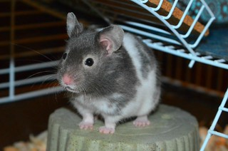 'Sparky' .... Sable Banded Syrian Hamster
