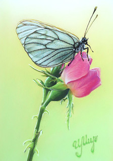 Butterfly   by irishishka