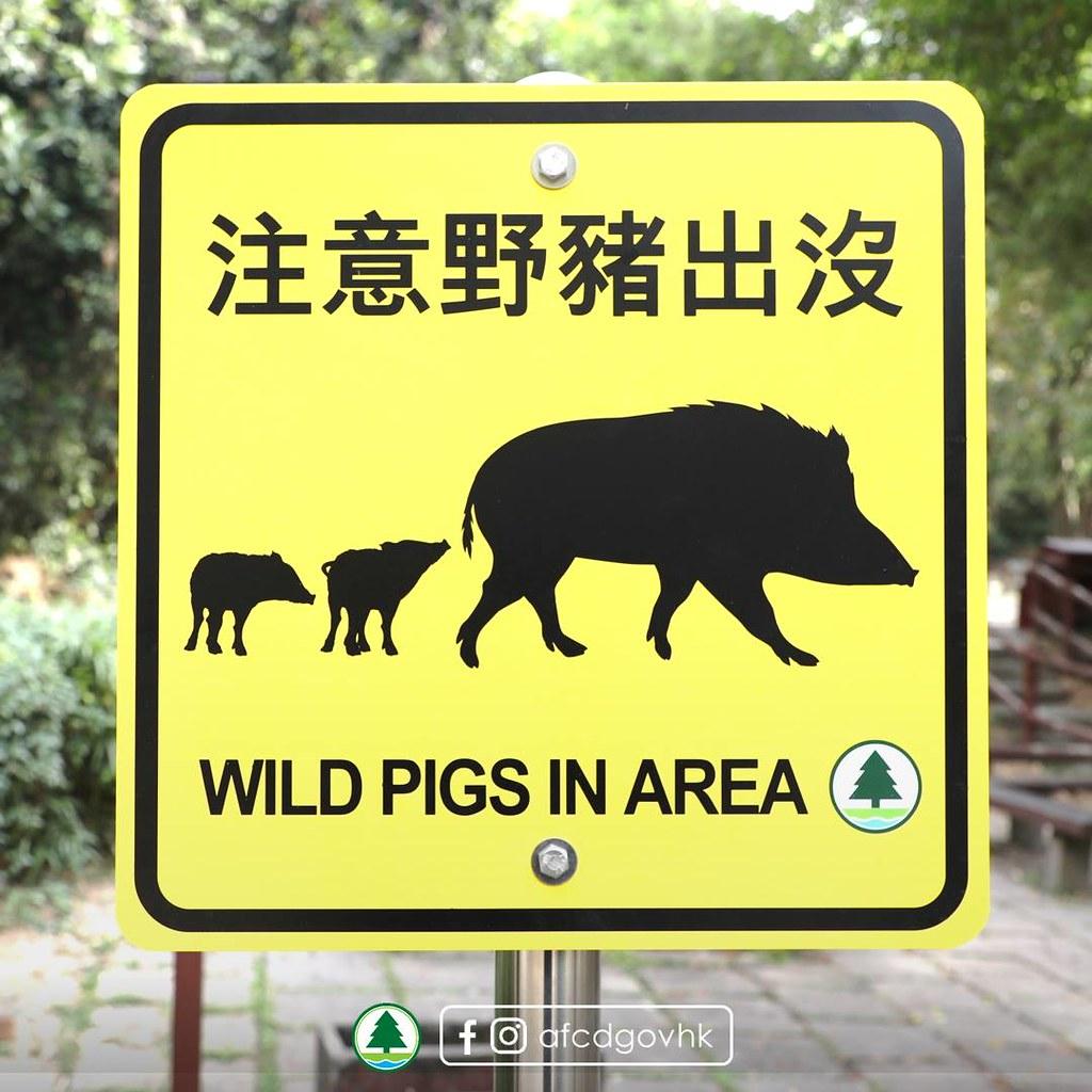 香港近年人豬衝突有加劇傾向,如何找到解決方案,成為香港政府的重大考驗。圖片來源:香港漁農自然護理署臉書
