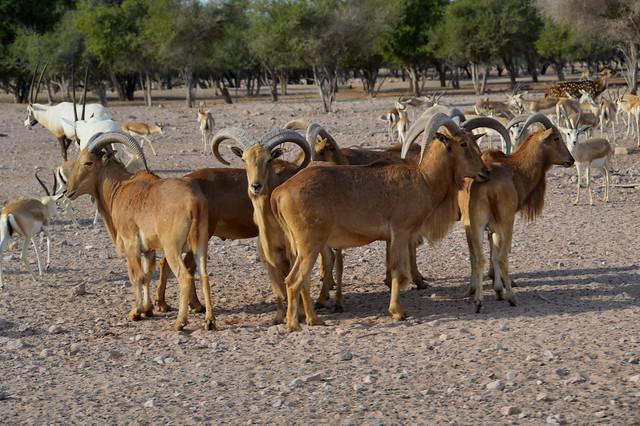 Sir Bani Yas Island Wildlife Reserve