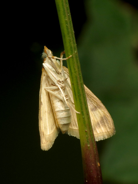 Pale-winged Crocidophora Moth