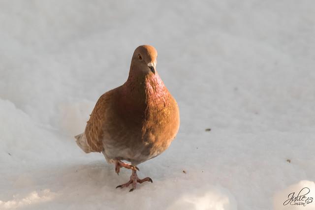 Pigeon domestique-1