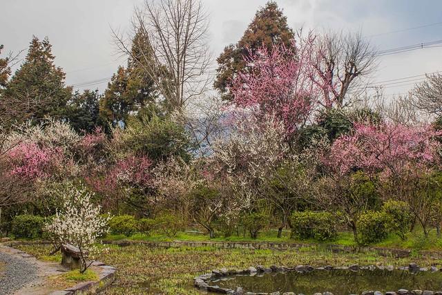 Umenomiya Taisha, Plum Blossoms Season In Kyoto City-Japan!