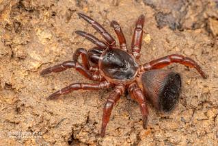 Cork-lid trapdoor spider (Cyclocosmia sp.) - DSC_0958   by nickybay