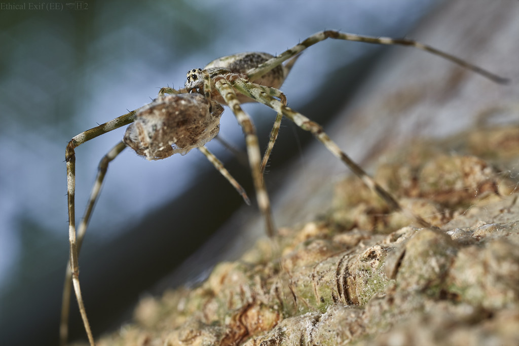Two-tailed spider (Hersiliidae) with prey