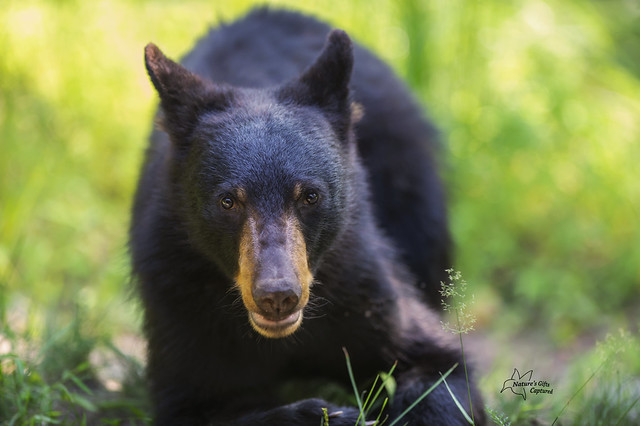 Close Encounters with a Young Black Bear