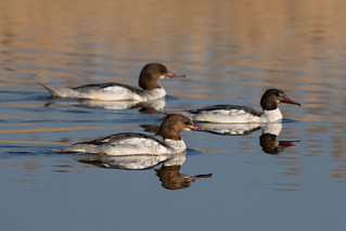 Common merganser (Mergus merganser) | by Leon Kiss