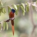 Red Bellied Paradise Flycatcher