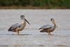 Pink-backed Pelican, Pelecanus rufescens by Kevin B Agar
