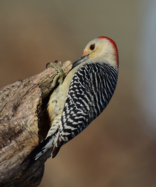 DSC_9713.Red-bellied Woodpecker