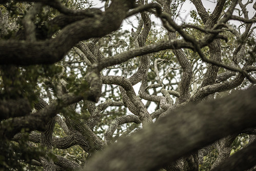 texas thebigtree usa attraction bark branches brown image intimatelandscape landmark limbs oaktree oaktrees photo photograph texture touristattraction tree trees twisting f28 mabrycampbell march 2019 march162019 20190316mabrycampbellh6a5020 200mm ¹⁄₂₀₀sec 100 ef200mmf28liiusm