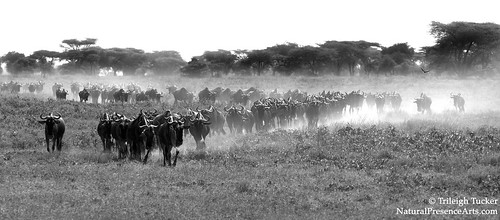 Wildebeest migration   by Trileigh