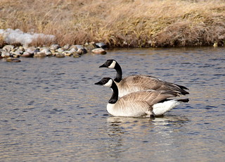 Canada geese at Seedskadee National Wildlife Refuge | by USFWS Mountain Prairie