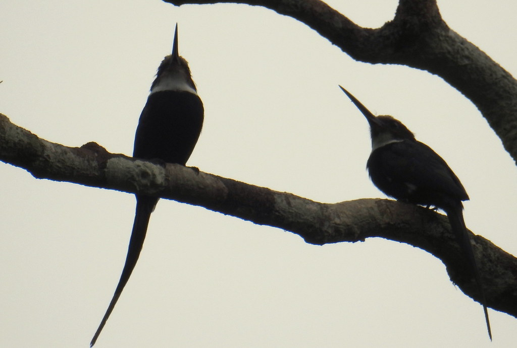 Paradiesglanzvögel (Galbula dea) Belegfoto