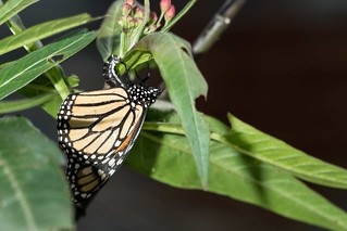 monarch-egg-laying | by swanlefitte