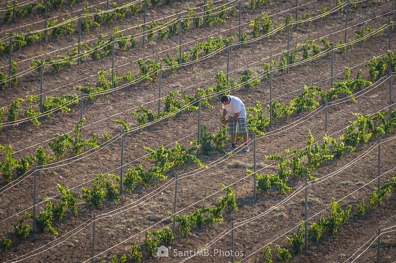 Viticultor cuidando sus viñas en Viladellops