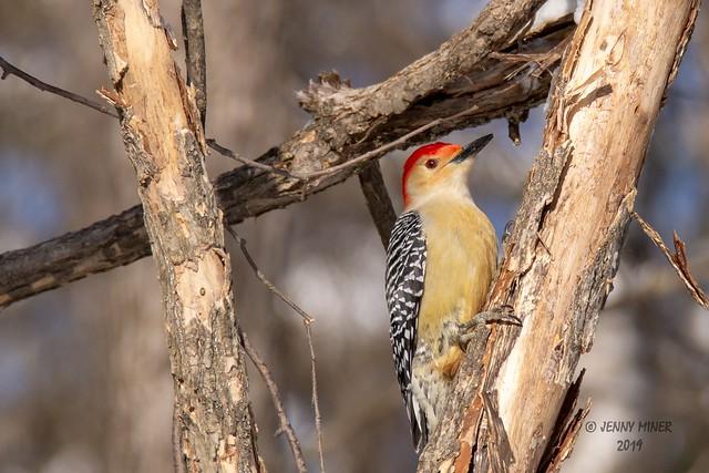 Red Bellied Woodpecker 02