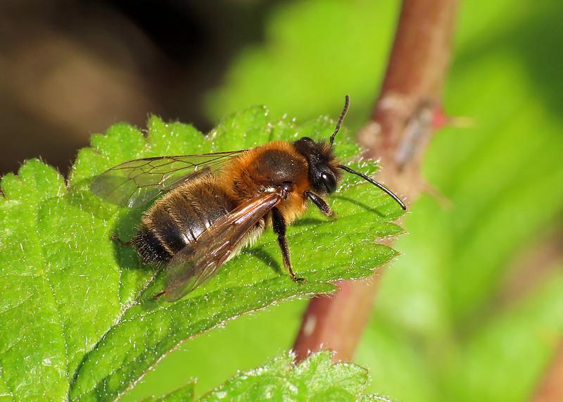 Chocolate Mining Bee - Andrena scotica