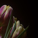 Tulips stacked5 by michaeln_solna