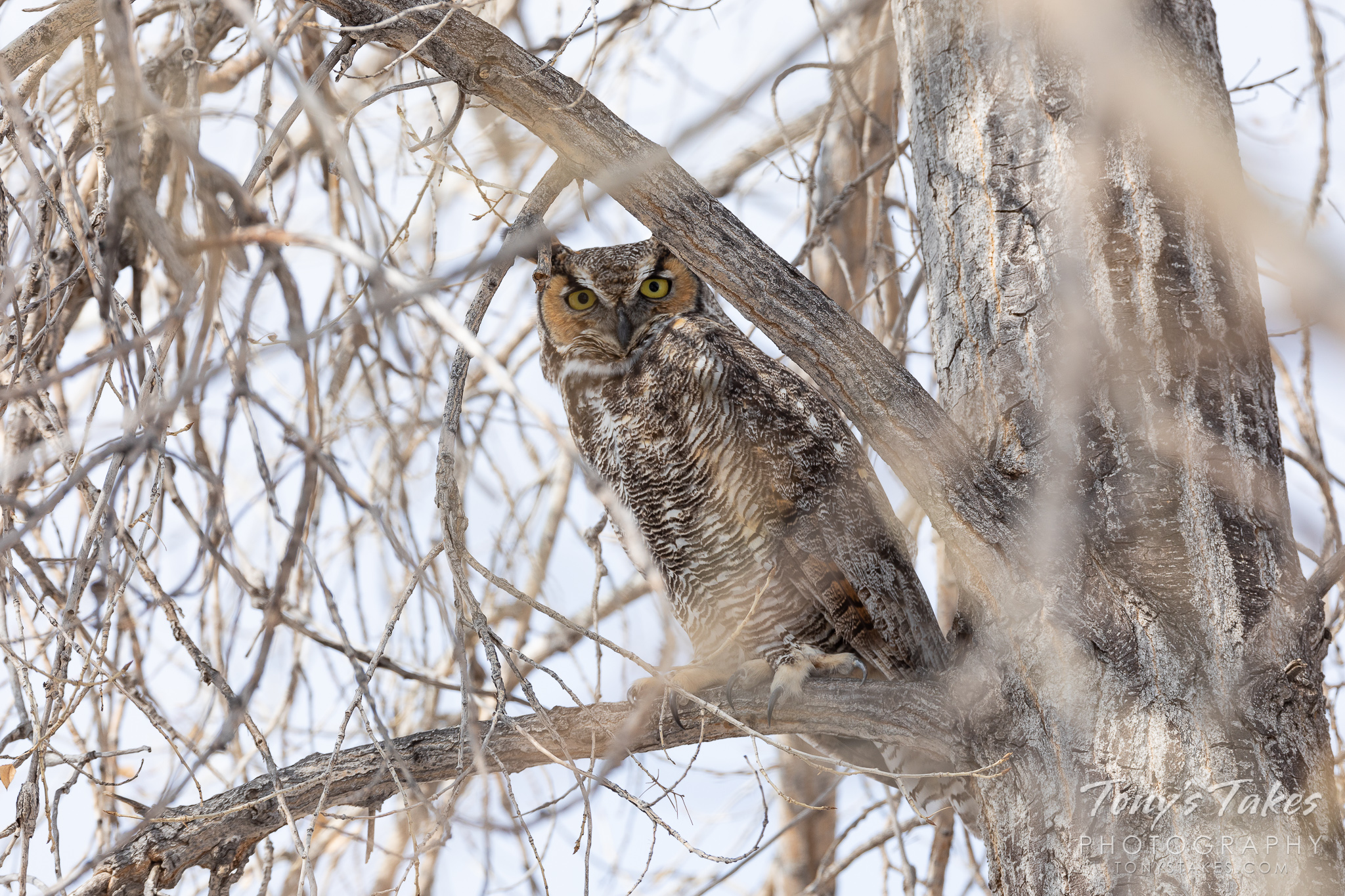 A great horned owl keeps close watch from its perch. Taken in Thornton, Colorado. (© Tony's Takes)