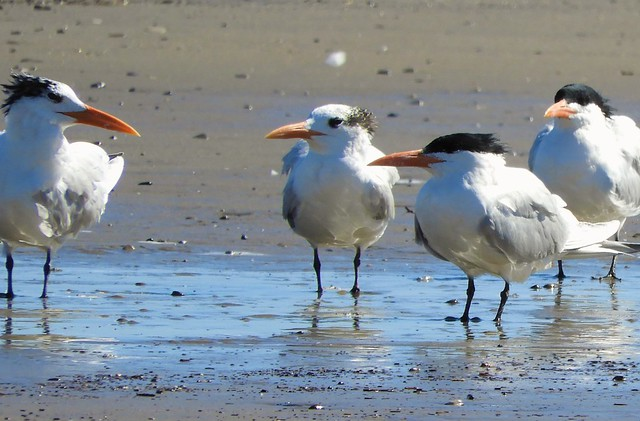 Royal Terns on the beach in Goleta