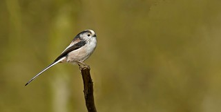 Long Tailed Tit | by *John Caswell *