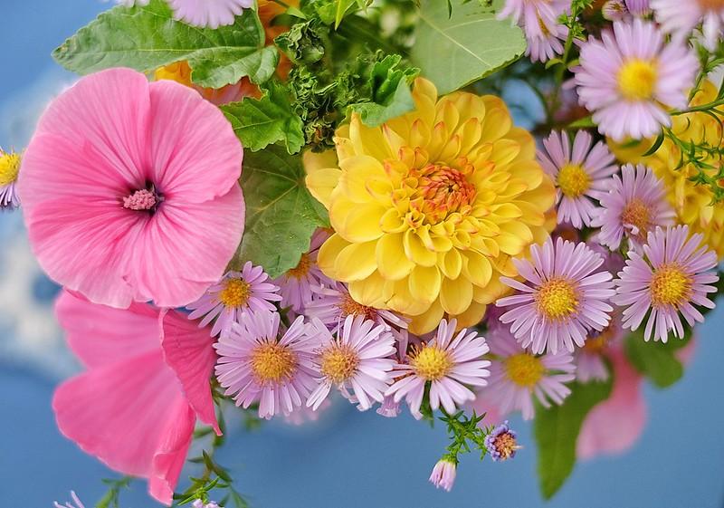Обои георгина, лаватера, астры картинки на рабочий стол, раздел цветы - скачать