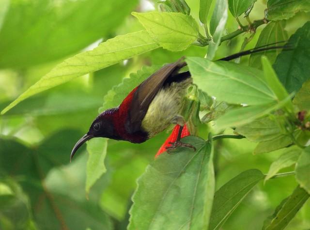 Black-throated Sunbird, Aethopyga saturata, Черногрудая острохвостая нектарница
