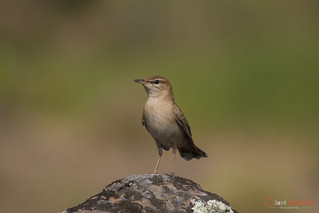 Rouxinol-do-mato | Rufous-tailed Scrub-Robin | Alzacola | Agrobate roux | Usignolo d'Africa | Cercotrichas galactotes