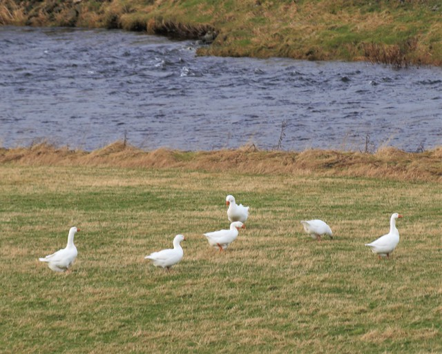 6 White Geese - River Clyde at Abington