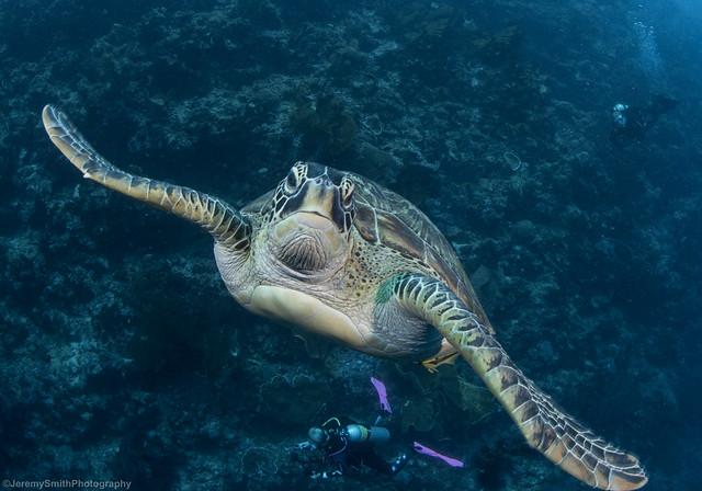 Green Sea Turtle, Chelonia mydas, Bunaken National Park, Indonesia