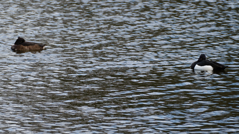 Dozing tufties, boating lake