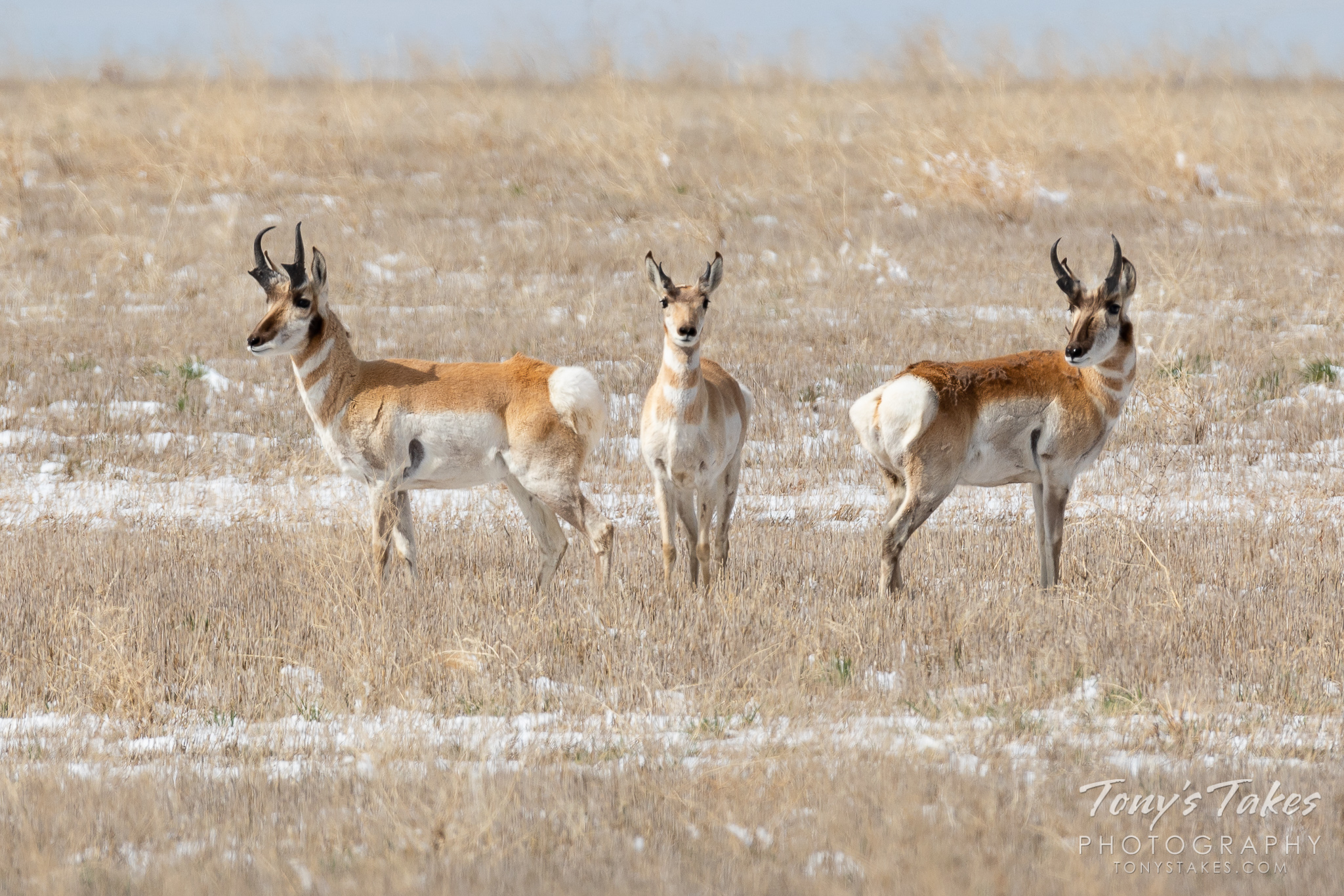 A trio of pronghorn in Adams County, Colorado. (© Tony's Takes)