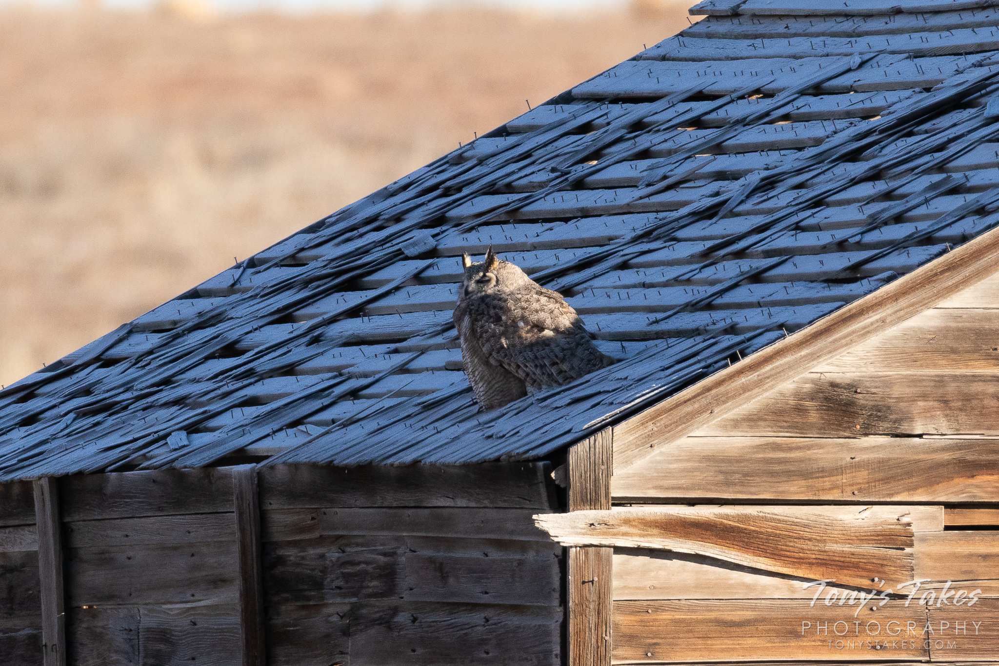 A great horned owl takes a nap on the roof of an old shed on the Colorado plains. (© Tony's Takes)