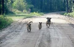 Canis lupus familiaris --  Dogs coming to say hello 2709